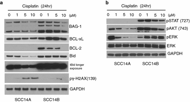 Sustained high expression of BAG-1, and its associated proteins in response to cisplatin resistance. Whole cell lysates of UMSCC 14A, 14B and 17A, 17B cells were treated with indicated concentration of cisplatin or absence for 24, for western blot analysis. a Membranes were probed with antibodies for BAG-1, BCL-xL, BCL-2, BID, and phosphor γH2AX. b Whole cell lysates were also probed for pro-survival pathway, PI3K/AKT, Jak/STAT3, and MAKP/ERK. Each membrane was stripped and re-probed with GAPDH for loading control