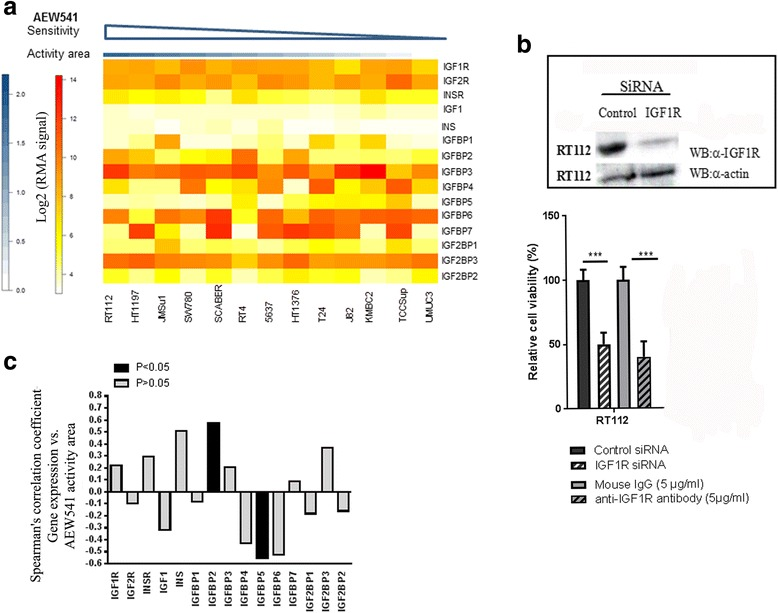 mRNA levels for IGFBP5 and IGFBP2 are biomarkers for bladder tumor cells sensitivity to <t>IGF1R</t> kinase inhibitor, AEW541. a Heat map of the IGF receptors, ligands, and binding proteins mRNA levels in regards to sensitivity to AEW41 in 13 bladder tumor derived cell lines. Data were extracted from CCLE database; b Effect of a blocking antibody against IGF1R and of IGF1R <t>siRNA</t> on the viability of RT112 cells. IGF1R knockdown 72 h after transfection with a control or anti-IGF1R siRNA was assessed by western blotting (inset). The effect of the siRNA on cell viability was assessed in MTT assays. The effect of the anti-IGF1R blocking antibody was assessed after 72 h, in MTT assays; c Spearman's coefficients for the correlations between the sensitivity to AEW541 and mRNA levels for IGF receptors, ligands, and binding proteins, in 13 cell bladder tumor derived cell lines. Data were extracted from CCLE database