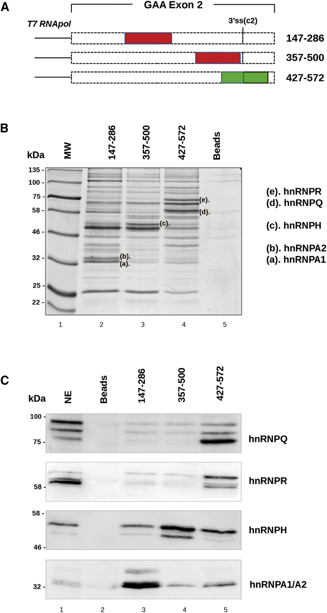 Identification of Proteins Able to Bind GAA Exon 2 by Pull-Down and Western Blot Analysis (A) Schematic representation of GAA 147–286, 357–500, and 427–572 exonic regions used as templates for <t>T7</t> RNA transcription in vitro. Putative silencers are represented by red boxes, while the putative enhancer is in green. (B) Pull-down analysis of three in vitro transcribed RNAs with HeLa nuclear extract (NE) analyzed on SDS-10% polyacrylamide gels and visualized by colloidal Coomassie staining. Proteins differentially precipitated by each RNA (letters a–e) were excised from the gel and analyzed by mass spectrometry. Colloidal Coomassie gel staining gives a representative picture of three independent experiments. Beads alone were used as a control (Beads). (C) Western blot analysis, after pull-down assay, using specific antibodies against hnRNPA1/A2, hnRNPH, hnRNPQ, and hnRNPR confirmed the identity of each protein. The nuclear extract sample corresponds to 1/20th of the total amount of protein used for the pull-down assay. The western blot images are representative pictures of three independent experiments. Beads alone were used as a control.