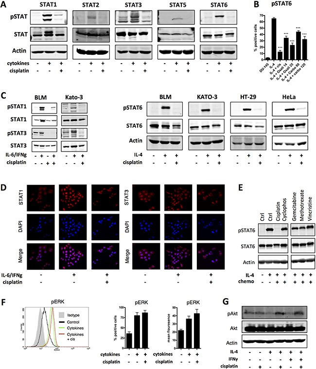 Platinum drugs specifically inhibit phosphorylation of STATs in multiple cancers ( A ) DU-145 cells were treated with the following cytokines: IL-6/IFNγ (STAT1 and STAT3), IFNα (STAT2), IL-4/IL-13/IFNγ (STAT5) or IL-4 (STAT6), to induce STAT protein phosphorylation, with and without simultaneous co-administration of cisplatin (10 μg/ml) for 18 hours. STAT protein expression and phosphorylation was analyzed by western blot. Actin is shown as a loading control. Shown is one representative experiment out of at least four independent experiments. ( B ) DU-145 cells were treated with IL-4 to induce STAT6 phosphorylation with and without co-administration of cisplatin (10 μg/ml), oxaliplatin (14 or 25 μg/ml), or carboplatin (80 or 120 μg/ml) for 18 hours. Shown is one representative experiment performed in triplicate (+SEM) out of at least three independent experiments. ( C ) BLM (melanoma), DU-145 (prostate cancer), KATO-3 (gastric cancer), HT-29 (colon cancer) and HeLa (cervical cancer of the uterus) cells were treated with IL-4 or IL-6/IFNγ to induce STAT6 or STAT1 and 3 protein phosphorylation, respectively, with and without simultaneous co-administration of cisplatin (10 μg/ml; BLM cells 20 μg/ml) for 18 hours. STAT protein expression and phosphorylation was analyzed by western blot. Shown is one representative experiment out of at least 3 independent experiments. ( D ) DU-145 cells were treated with cytokines: IL-6 and IFNγ (STAT1 and STAT3) with and without co-administration of cisplatin (10 μg/ml) for 18 hours and STAT protein localization was visualized by confocal microscopy. Shown is one representative experiment out 3 independent experiments. ( E ) DU-145 cells were treated with IL-4 to induce STAT6 protein phosphorylation with and without co-administration of cisplatin (10 μg/ml), methotrexate (250 μg/ml), gemcitabine (20 μg/ml), cyclophosphamide (140 μg/ml) or vincristine (0.4 μg/ml) for 18 hours. STAT6 protein expression and phosphorylation were analyzed by western blot. Shown is one representative experiment out of 2 independent experiments. ( F ) DU-145 cells were pretreated or not with cisplatin for 12 hours and pulsed with a cytokine mix (IL-1β, TNF-α, IFNγ) for 30 minutes. ERK phosphorylation was analyzed by flow cytometry. Shown is one representative FACS plot and one representative experiment performed in triplicate (+SEM) out of 2 independent experiments. ( G ) DU-145 cells were treated with IL-4 to induce STAT6 protein phosphorylation with and without co-administration of cisplatin (10 μg/ml) for 18 hours. Akt protein expression and phosphorylation was analyzed by western blot. Shown is one representative experiment out of 2 independent experiments.