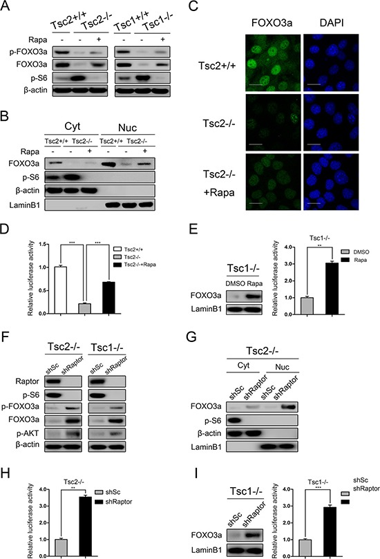 mTORC1 is a negative regulator of FOXO3a ( A ) Total cell lysates from Tsc2+/+, Tsc2−/−, rapamycin-treated (20 nM 24 h) Tsc2−/−, Tsc1+/+, Tsc1−/− and rapamycin-treated (20 nM 24 h) Tsc1−/− MEFs were subjected to immunoblotting with the indicated antibodies. ( B – D ) Tsc2+/+, Tsc2−/−, and rapamycin-treated (20 nM 24 h) Tsc2−/− MEFs. B. The cytoplasm (Cyt) and nuclear (Nuc) proteins were subjected to immunoblotting with the indicated antibodies. C. The expression of FOXO3a was analyzed by an immunofluorescence assay. Scale bar, 50 μm. D. The cells were co-transfected with pGMFOXO-Luc (200 ng) and the internal control plasmid pRL-TK (20 ng). The relative luciferase activity was measured 24 h after transfection. ( E ) Tsc1−/− MEFs were treated with or without rapamycin (20 nM) for 24 h. The nuclear proteins were subjected to immunoblotting with the indicated antibodies (left panel). The relative luciferase activity was measured as D (right panel). ( F ) Total cell lysates from Tsc2−/− or Tsc1−/− MEFs transduced with shRaptor or shSc lentiviruses were subjected to immunoblotting with the indicated antibodies. G-H. Tsc2−/− MEFs were transduced with shRaptor or shSc lentiviruses. ( G ) The cytoplasm (Cyt) and nuclear (Nuc) proteins were subjected to immunoblotting with the indicated antibodies. ( H ) The cells were co-transfected with pGMFOXO-Luc (200 ng) and the internal control plasmid pRL-TK (20 ng). The relative luciferase activity was measured 24 h after transfection. ( I ) Tsc1−/− MEFs were infected with shRaptor or shSc lentiviruses. The nuclear proteins were subjected to immunoblotting with the indicated antibodies (left panel). The relative luciferase activity was measured as H (right panel). ** P