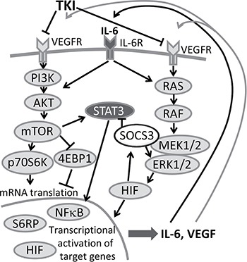 Feedback loop in TKI therapy IL-6 and VEGF activate <t>AKT-mTOR</t> and the STAT3 signaling cascade, consequently leading to enhanced secretion of IL-6 and VEGF. Secreted IL-6 and VEGF can again re-activate tumor cells and thus trigger tumor progression. A combination therapy of TKI together with an anti-IL-6R antibody could inhibit this amplifier circle.