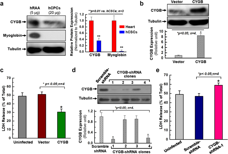 The expression of CYGB is associated with the cell survival ability against oxidative stress in hCPCs. ( a ) Representative images and quantitative data of Western blot showed that the expression of CYGB is observed in both hCPCs and human right atrial appendage (hRAA). However, the expression of myoglobin is not detectable in hCPCs compared to its abundant expression in hRAA. The total protein loading is 5 µg for hRAA and 20 µg for hCPCs. Full-length blots are presented in Supplemental Fig. S1 . ( b ) Western blot confirmed that CYGB was overexpressed in hCPCs. Full-length blots are presented in Supplemental Fig. S1 . ( c ) CPCs were infected with lentivirus expressing CYGB or vector for 24 h, challenged with 2 mM H 2 O 2 for 3 h, and then evaluated by LDH assay. ( d ) Western blot confirmed that CYGB was knocked-down in hCPCs with shRNAs for clone #1 4. Full-length blots are presented in Supplemental Fig. S8 . ( e ) Human CPCs were infected with lentivirus expressing shRNA against CYGB, or scramble shRNA for 24 h, challenged with 2 mM H 2 O 2 for 3 h, then evaluated by LDH assay. Data presented in this figure were mean values on a ratio of H 2 O 2 -induced LDH release to total LDH in cells with standard error (means ± SEM). *Indicates p