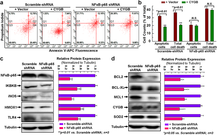 Disruption of NFκB expression abolished the cytoprotective effect of overexpressing CYGB. ( a ) Representative FACS analysis with annexin V/PI staining showing H 2 O 2 -induced apoptosis in hCPCs stably expressing scrambled or NFκB-p65 shRNA following with or without CYGB overexpression. ( b ) Quantitative data analysis for panel a. ( c ) Representative images and quantitative data of Western blot showing NFκB-related protein expression levels after NFκB was knocked-down. Full-length blots are presented in Supplemental Fig. S13 . ( d ) Representative images and quantitative data of Western blot showing anti-apoptotic and anti-oxidant protein expression levels after NFκB was knocked down. Full-length blots are presented in Supplemental Fig. S14 . *Indicates p