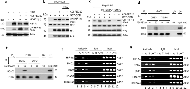 Effects of ROS on ADI-induced HIF-1α degradation. ( a ) ADI-induced HF-1α degradation is inhibited by antioxidant, NAC. A2058 cells were treated with 10 μM MG-132 in the absence or presence of ADI or NAC (1 mM) for 4-h. Expression levels of HIF-1α, hydroxylated HIF-1α, and actin were determined by Western blotting. ( b ) The antioxidant NAC suppresses ADI-induced PHD2 enzymatic activity. A2058 cells were transfected with recombinant encoding HA-PHD2. Cells were treated with NAC or ADI as indicated for 1 hr. PHD2 enzymatic activity was measured using GST-ODDD (100 ng) as a substrate and production of HO-HIF-1α (p564). ( c ) Similar to those described in ( b ) was performed using anti-oxidants Mito-TEMPO (40 μM) and TEMPO (100 μM) for 1 hr. ( d , e ) Inhibitions of HDAC2 and PHD2 interaction by TEMPO in reciprocal co-IP assays. ( f , g ), Effects of antioxidants NAC (N, 1 mM) or TEMPO (T, 100 μM)) on ADI (A)-induced ASS1 promoter association of HIF-1 α , PHD2, p300, HDAC2 and H3K27ac in A2058 cells treated with or without ADI (A, 0.5 μg/ml, 1 hr) as determined by ChIP assay.