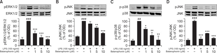 Effect of balanophonin on <t>MAPK</t> expression in LPS-activated BV-2 cells. (A) Effect of balanophonin on the production of pERK1/2. (B) Effect of balanophonin on the production of pJNK. (C) Effect of balanophonin on the production of <t>p-p38.</t> (D) Effect of balanophonin and SP600125 on the Phosphorylation of JNK. α-Tubulin was used as a loading control. Each value is presented as mean ± SD of at least three independent experiments. * p