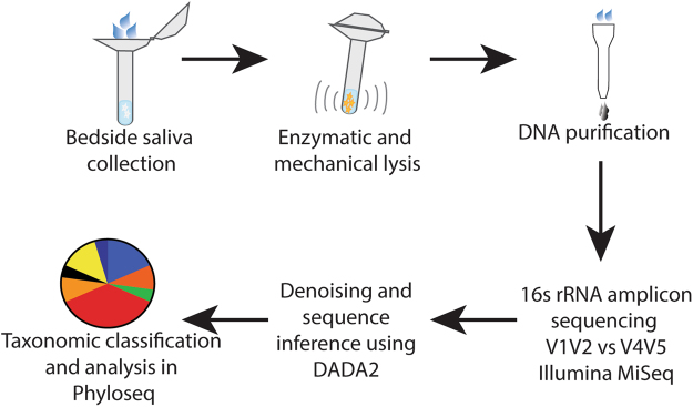 Experimental Workflow. Approximately 1 mL of saliva was collected from study participants using a commercially available kit from OMNIgene. Bacteria within the saliva samples were then vigorously lysed using both enzymatic and mechanical techniques. After purifying genomic DNA, amplicons from the 16S rRNA gene were generated, sequenced on an Illumina MiSeq, and analyzed using the DADA2 computational pipeline to determine microbiome composition.