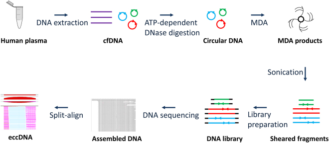 Flow chart of eccDNA preparation and sequencing data analysis. cfDNA was extracted from human plasma. Plasmid-Safe ATP-dependent DNase was used to remove the linear DNA. The DNase-resistant DNA (circular DNA) was further amplified using MDA method. The MDA products were sheared into 100–300 bp fragments, which were then used for library preparation and sequencing analyses. By removing mitochondrial sequence, the remaining sequences were aligned to human genome sequences. A split-read based method (Split-align) was used to determine the eccDNAs.