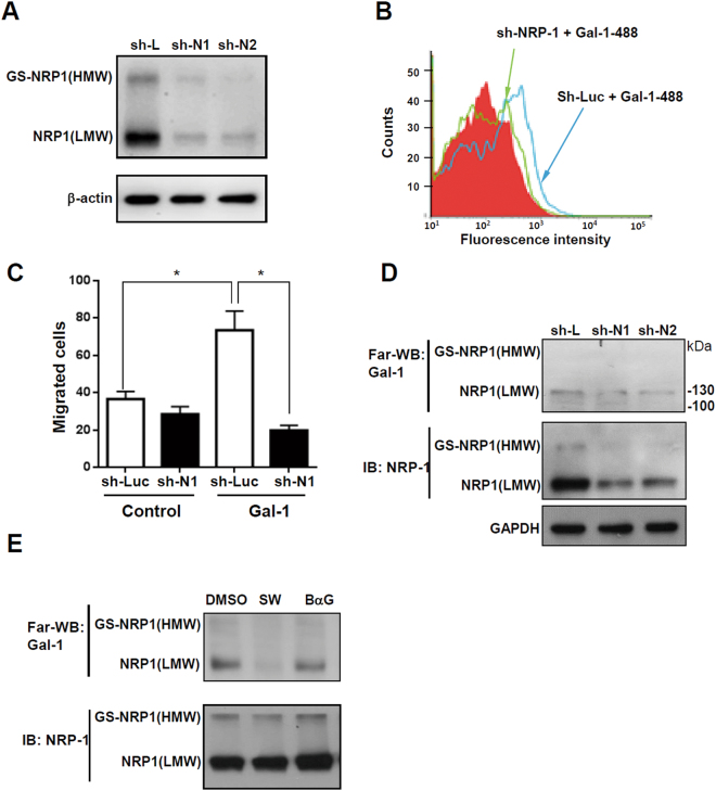 Glycosylation-dependent Gal-1/NRP-1 interactions induce hepatic stellate cell (HSC) migration. ( A ) NRP-1 shRNAs (sh-N1 and N2) suppress NRP-1 expression. ( B ) Knockdown of NRP-1 suppresses Gal-1 binding to LX-2 cells. ( C ) Knockdown of NRP-1 suppresses Gal-1-induced HSC migration. LX-2 cells were infected with a lentivirus carrying luciferase (sh-Luc) and NRP-1 shRNA (sh-N1). Gal-1 binding to LX-2 sh-Luc and sh-N1 cells was determined by flow cytometry. To measure the migratory ability, LX-2 sh-Luc and sh-N1 cells were treated with 500 nM Gal-1 for 16 h, and migrated cells were counted. Results are shown as the mean ± SEM of three independent experiments. * p