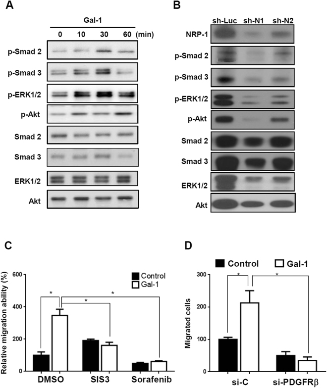 Gal-1 induces PDGF- and TGF-β-like signals through the NRP-1/PDGF receptor (PDGFR) and NRP-1/TGF-β receptor (TGF-βR) complex. ( A ) Gal-1 induced PDGF and TGF-β-like signaling in Gal-1 silencing cells (LX-2-shB09 cells). ( B ) Knockdown of NRP-1 suppressed Gal-1-induced signaling. LX-2 cells were serum-starved for 24 h followed by Gal-1 (500 nM) treatment for 10 min. The cell lysate was collected for Western blotting. ( C ) Sorafenib and SIS3 (a tyrosine kinase and a TGF-βR inhibitor) suppressed Gal-1-induced hepatic stellate cell (HSC) migration. For the migration assay, LX-2 cells were pretreated with sorafenib and SIS3 for 1 h. Then, cells were suspended and seeded into a transwell. After incubation for 24 h, migrated cells were counted, and results are presented as the mean ±SEM of three independent experiments. * p
