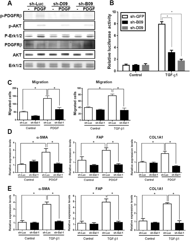 Knockdown of Gal-1 attenuates PDGF- and TGF-β-induced LX-2 cell signaling, gene expression, and migration. ( A ) Silencing Gal-1 suppresses PDGF-induced signaling. LX-2 cells were infected with a luciferase (sh-Luc) and Gal-1 shRNA (sh-B09, D09) lentivirus and were treated with PDGF for 10 min. The cellular phosphorylation of extracellular sign-regulated kinase 1/2 (Erk1/2), and Akt was measured using Western blotting. ( B ) Knockdown of Gal-1 suppresses the TGF-β-induced Smad2/3 transactivation ability. LX-2-sh-GFP, sh-B09, sh-D09 cells were transfected with a SBE4-Luc plasmid (luciferase reporter containing four copies of the Smad-binding site). Cells were starved for 24 h followed by TGF-β (1 ng/ml) treatment for 24 h, and luciferase activities were measured using the Luciferase Assay system (Promega). ( C , D ) Knockdown of Gal-1 inhibits PDGF- and TGF-β-induced gene expression. α-smooth muscle actin (α-SMA), fibroblast activation protein (FAP), and α-1 type I collagen (COL1A1) expressions in LX-2 cells were analyzed using RT-qPCR. Relative gene expression levels were calculated by comparing ∆CT values of each group to those of sh-Luc cells without treatment. Data are shown as folds of change. ( E ) Knockdown of Gal-1 expression inhibits PDGF- and TGF-β-induced HSC migration. Cell migration was measured using a Boyden chamber assay. Results are presented as the mean ± SEM of three independent experiments. * p
