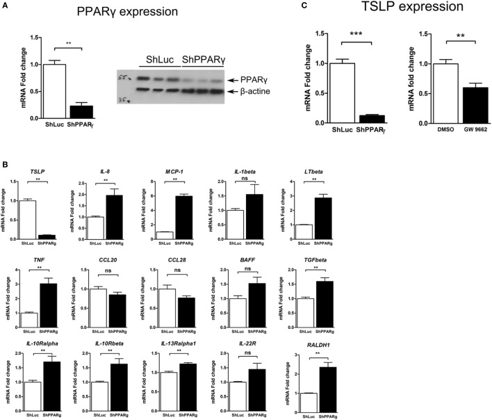 TSLP expression is strongly reduced in peroxisome proliferator activated receptor-gamma (PPARγ) knock-down Caco-2 cells. (A) Caco-2 colorectal cell line knock-down for PPARγ (ShPPARγ) expressed significantly fewer PPARγ transcripts and protein compared to ShLuc control cells. Quantitative expression of mRNA was assessed by quantitative PCR (qPCR). Results represent the mean values of sextuplicate ± SD of the fold change of PPARγ expression normalized to GAPDH level. The expression level measured in ShLuc cells (arbitrarily defined as one) was used as reference. Protein level was assessed by Western blot. The results represent a triplicate of the same clone of ShLuc and ShPPARγ Caco-2 cells, respectively. (B) Targeted approach in order to identify genes with different expression profile in PPARγ knock-down Caco-2 cells (ShPPARγ) compared to control cells (ShLuc)—Results of qPCR analysis. We selected various genes potentially expressed by intestinal epithelial cells and tested their expression in ShPPARγ/ShLuc Caco-2 cells. Results represent the mean ± SEM (2 independent experiments in triplicate) of the fold change of selected genes expression normalized to GAPDH level. The expression level measured in control cells was used as reference and defined as 1. (C) qPCR analysis of TSLP gene expression in PPARγ knock-down Caco-2 cells (ShPPARγ) compared to control cells (ShLuc). Results represent mean ± SEM (5 independent experiments in triplicate or sextuplicate, n = 18) of the fold change of TSLP gene expression normalized to GAPDH level. The expression level measured in control cells was used as reference and defined as 1. Caco-2 cells were stimulated for 24 h with GW9662. Results represent mean ± SEM (2 independent experiments in triplicate or sextuplicate, n = 9) of the fold change of TSLP gene expression normalized to GAPDH level. The expression level measured in control cells was used as reference and defined as 1. ** P