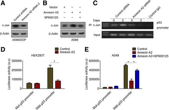 Annexin A2 inhibited p53 expression through c-Jun-mediated suppression of p53 promoter activity. a A549/DDP cells were transfected with Annexin A2 siRNA, c-Jun protein expression was analyzed by Western blot. b A549 cells were transfected with pCMV6-Annexin A2, and then treated with SP600125, c-Jun protein expression was analyzed by Western blot. c A549/DDP cells were transfected with Annexin A2 siRNA for 48 h, the binding capacity of c-Jun to p53 promoter were determined by chromatin immunoprecipitation. The enrichment of the p53 promoter in immunoprecipitated (IP) c-Jun and the input of c-Jun are shown. IgG was used as a negative control. One representative data set of three individual experiments is shown. d - e HEK293T cells ( d ) and A549 cells ( e ) were co-transfected with pGL3-p53-Luc, or mut-pGL3-p53 and pCMV-Annexin A2 for 48 h, cells were harvested and assayed by the Dual-Luciferase Reporter Assay System. *P