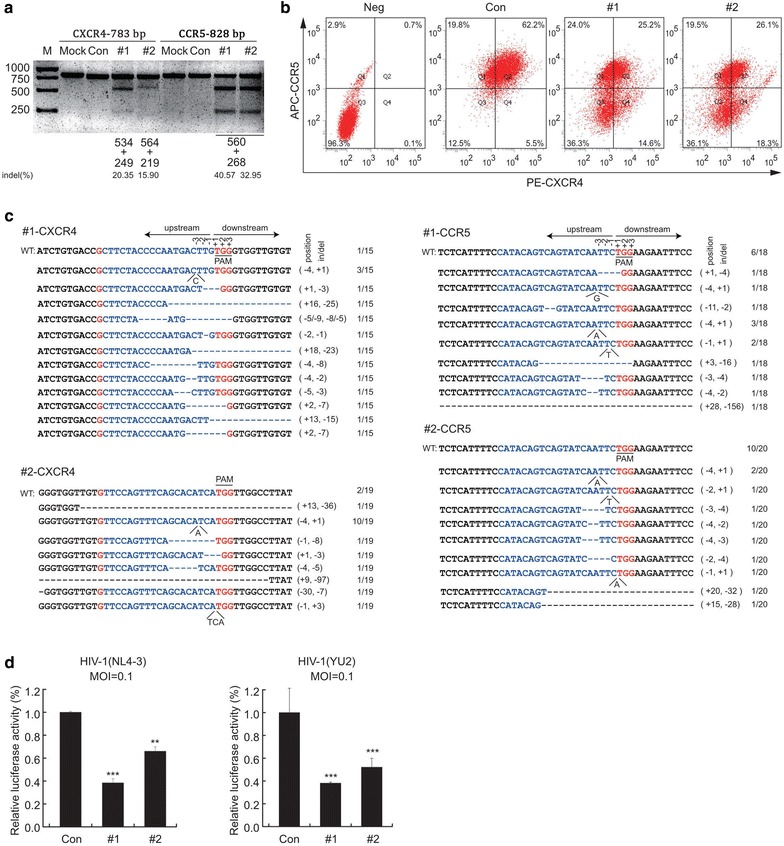 Disruption of CXCR4 and CCR5 protects TZM-bl cells from HIV-1 infection. a T7E1 assay for genome level cleavage efficacy by lenti-X4R5-Cas9-#1,#2 in TZM-bl. b Expression of CXCR4 or CCR5 in TZM-bl cell line transfected with lenti-X4R5-Cas9 by lipo2000 transfection reagent were analyzed with flow cytometry. c On-target analysis of the cleavage on target sites. d lenti-X4R5-Cas9 transfected TZM-bl cell line challenged with HIV-1 NL4-3 or HIV-1 YU-2 (3 days post infection). The data shown were the mean ± SD of three independent experiments. *P
