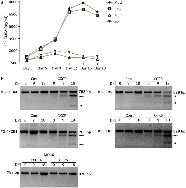 X4R5-Cas9 lentivirus modified Jurkat T cells were enriched after CXCR4-tropic (NL4-3) and CCR5-tropic (YU-2) HIV-1 challenge.  a  HIV replication in X4R5-Cas9 lentivirus modified as well as mock and control Jurkat T cells infected with X4-tropic and R5-tropic HIV-1 concurrently. Values represent the mean of duplicate infections.  b  cleavage analysis of CXCR4 and CCR5 by T7 endonuclease 1 in mock, control, lenti-X4R5-Cas9-#1 and lenti-X4R5-Cas9-#2 group at 0, 9 and 18days after HIV-1 challenge. The lower migrating bands (indicated by  arrows ) in  each lane  indicate the disrupted CXCR4 and CCR5 alleles.  DPI  days post infection