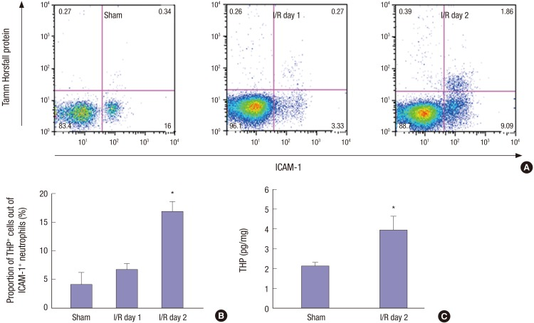 Substantial portion of circulating ICAM-1 + neutrophils during the recovery phase of IRI are positive for THP. ( A ) Flow <t>cytometry</t> show the increased percentage of THP + ICAM-1 + neutrophils on day 2 after IRI. Neutrophils were gated first. ( B ) Percentage of THP + ICAM-1 + neutrophils after IRI. ( C ) THP was increased in peripheral blood leukocytes during the recovery phase of IRI (n=4–5 per group). ICAM-1 = intercellular adhesion molecule-1, IRI = ischemia/reperfusion injury, THP = Tamm-Horsfall protein. * P