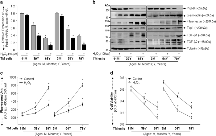 Aging TM cells exposed to H 2 O 2 displayed reduced Prdx6 expression, increased TGF β s and accumulation of ECM proteins with elevated ROS levels and reduced cell viability. ( a ) Total RNA were isolated from TM cells of different ages exposed to H 2 O 2 and processed for real-time PCR with specific primers as indicated. Histogram values are mean±S.D. of three independent experiments, showing significant reduction of Prdx6 expression in aging TM cells, in age-dependent manner (* P