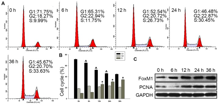 Expression of FoxM1 in proliferating Fadu cells. (A and B) Fadu cells were serum-deprived for 72 h in advance. (A) Cell cycle distribution was analyzed by flow cytometry. (B) Statistical analysis revealed a gradual decrease in the proportion of cells in G1 phase, and an increase in cells in S phase. (C) As more cells transitioned into S phase, the protein levels of FoxM1 and PCNA were also increased. Data represent the mean ± standard deviation from three independent experiments. Data were analyzed with a Student's t-test. ^,* P
