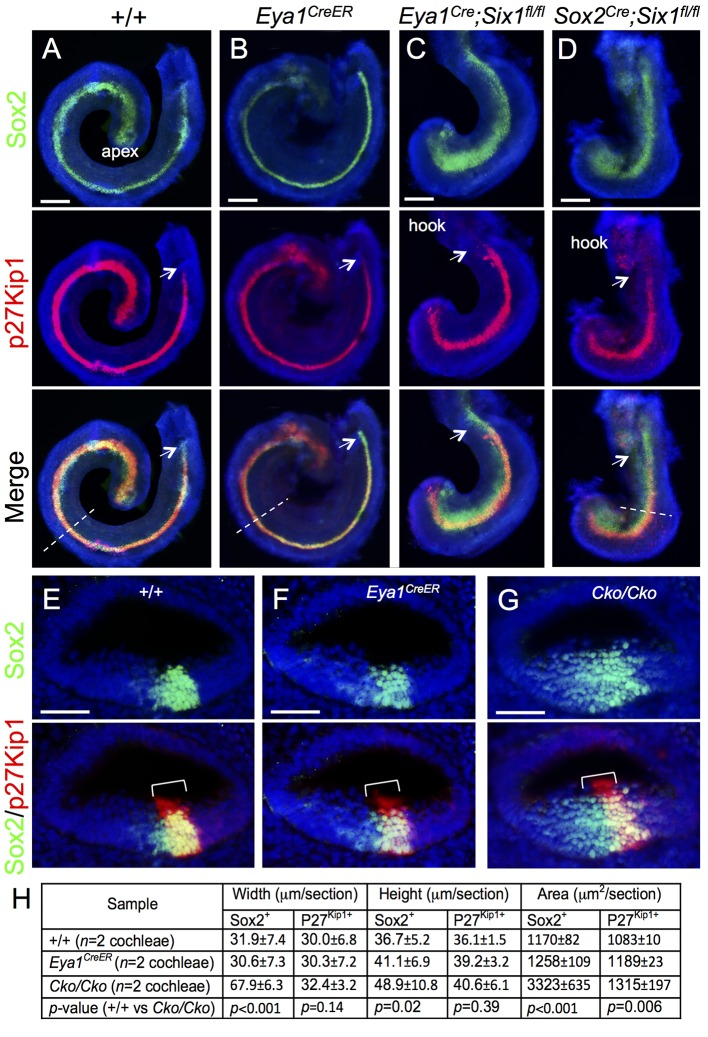 Deletion of Six1 in the developing cochlea using Eya1 CreER or Sox2 CreER leads to shortened and thickened prosensory primordium. Cochleae were dissected from E14.5 embryos given tamoxifen at E11.5 (9 am) and E12.5 (9 am) and processed for whole-mount (A-D) or section (E-G) immunostaining with anti-Sox2 (green) and -p27 Kip1 (red). Hoechst was used for nuclear-counter staining. (E-G) Section collected from mid-cochlear duct in wild-type, Eya1 CreER or Sox2 CreER ;Six1 fl/fl ( Cko/Cko ) littermates as indicated by dashed line in A, B, D respectively. Bracket indicates p27 Kip1 -positive prosensory domain within the cochlea epithelium and its width on mediolateral axis is comparable between control and mutant littermates. (H) Spatial calibration of Sox2 + and p27 Kip1+ width, height and square area and value represents average number (±standard deviations) per section (6 μm) (see Methods for calibration). P- value was measured for +/+ and Cko/Cko using Two-tailed Student's t-test. Scale bars: 200 μm in A-C and 40 μm in D,E.