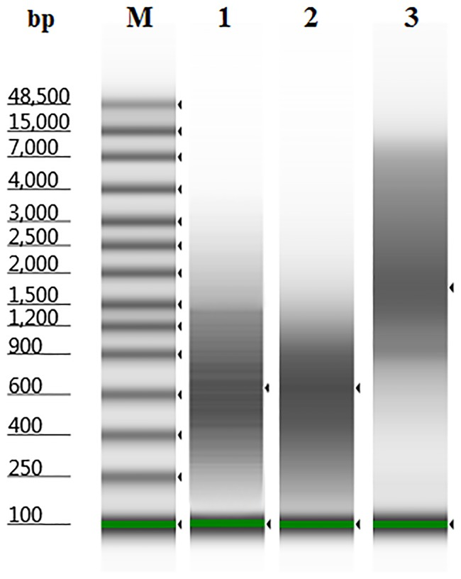 """Electrophoretic analysis of WGA libraries by Agilent <t>2200</t> <t>TapeStation</t> Instrument. The libraries were obtained by DOP-PCR (lane 1), PicoPlex (lane 2), and iDOP-PCR (lane 3) from 15 pg of human gDNA. M –DNA marker """"Genomic DNA ScreenTape""""."""