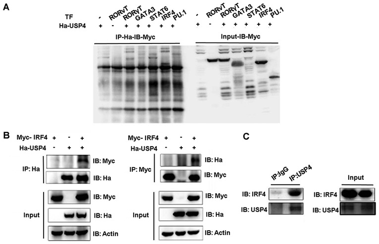 Interaction between ubiquitin specific peptidase 4 (USP4) and interferon regulatory factor 4 (IRF4). (A) IRF4 was co-immunoprecipitated by the anti-Ha antibody when Ha-USP4 and Myc-IRF4 were coexpressed. (B) IRF4 was co-immunoprecipitated by the anti-Ha antibody when Ha-USP4 and Myc-IRF4 were coexpressed, and USP4 was co-immunoprecipitated by the anti-Myc antibody when Ha-USP4 and Myc-IRF4 were coexpressed. (C) IRF4 was co-immunoprecipitated by the anti-USP4 antibody, indicating that USP4 interacts with IRF4 in Th2 cells. Flag-IRF4 and Ha-USP4 were co-transfected into 293T cells. After 48 h, the cells were retrieved, and 1 µ g of anti-Ha or anti-Flag monoclonal antibody precipitate was added and immunoblotting was conducted in A and B. Th2 cells were amplified to 1×10 7 , and co-immunoprecipitated with 1 µ g of normal IgG or anti-USP4, then immunoblotting assay was conducted in C.