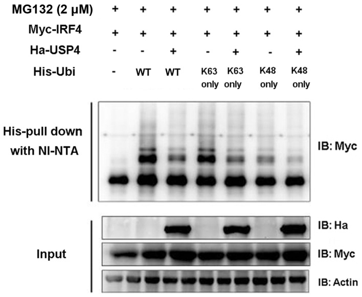 Deubiquitination of interferon regulatory factor 4 (IRF4) by ubiquitin specific peptidase 4 (USP4). USP4 can mediate deubiquitination of IRF4 on K48 and K63 sequences (amino acid residue sequences). 293T cells were cotransfected with Myc-IRF4, Ha-USP4, His-ubiquitin or His-ubiquitin mutant K63 only and K48 only. Cells were collected after 48 h; MG132 (20 µ M/ml) was used for processing and Ni-NTA was used for purified precipitation, and immunoblotting was conducted with monoclonal antibody of anti-Ha and anti-Flag.