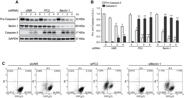 Pro-survival role of autophagy in cells subjected to hyperosmotic stress HeLa cells were transfected with an unrelated control siRNA (siUNR) or specific siRNAs against PC2 and Beclin 1. 48 h later, cells were exposed to sorbitol (200 mOsm) at the indicated times. Pro-caspase-3, Beclin 1 and caspase-3 levels were evaluated by Western blot analysis. GAPDH levels were used as a loading control. Representative gels are shown in A. Quantification of gel bands is shown in B. (mean ± SEM, n = 3, * p