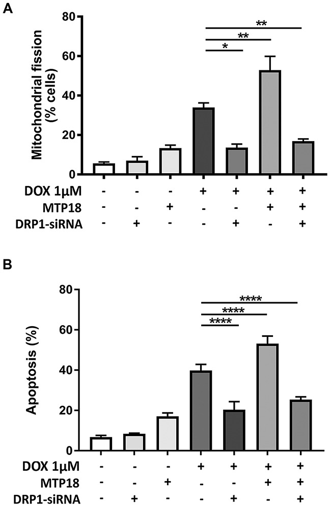 MTP18 requires DRP1 to induce mitochondrial fission and apoptosis during doxorubicin exposure (A) Mitochondrial protein 18 (MTP18)-induced mitochondrial fission upon doxorubicin (DOX) exposure is abolished when dynamic-related protein 1 (DRP1) is knocked down. Stable AGS cell line of overexpressed MTP18 was co-transfected with DRP1-siRNA and then treated with 1μmol/L DOX and percentages of cell undergoing mitochondrial fission was analyzed at 6hr. (A) Shows percentage of cells with mitochondrial fission. (B) MTP18-mediated apoptosis upon DOX exposure is abolished when DRP1 is knocked down. Stable AGS cell line of overexpressed MTP18 was co-transfected with DRP1-siRNA and treated with 1μmol/L DOX for apoptosis analysis at 24hr. The percentages of apoptosis were analyzed by cell death detection ELISA. (B) Shows percentages of apoptosis. Data were expressed as the mean±SEM of three independent experiments. * P