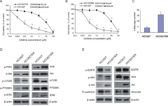 Cytotoxicity of EGFR-TKIs and molecular profiles in parental HCC827 and resistant cell line HCC827/ER Cells were treated with the indicated concentrations of erlotinib (A) and gefitinib (B) for 72 h in medium containing 1% FBS. Cell viability was determined using an MTT assay, and IC 50 values were calculated using Graphpad Prism software 5.0. Results were expressed as the percentage of living cells compared to the control, error bars indicate SD of three independent measurements. * p