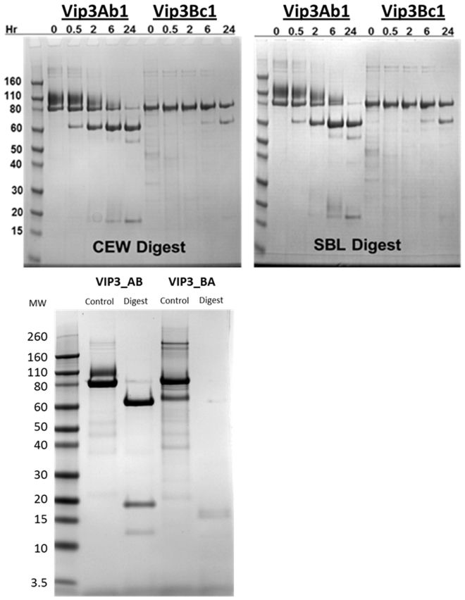 Top Panel: <t>SDS-PAGE</t> analysis of time course digestion of Vip3Ab1 and Vip3Bc1 with H. zea and P. includens gut enzymes. Vip3Ab1 and Vip3Bc1 proteins (150 µg/mL) were incubated with gut fluids from H. zea (left) and P. includens (right) at 30 °C for various time intervals at pH 10.0. Bottom Panel: SDS-PAGE analysis of overnight digestion of Vip3 chimeras with H. zea gut enzymes. Vip3_AB and Vip3_BA proteins (110 µg/ml) were incubated with H. zea gut fluids for 16 hours at 30 °C in a total volume of 100 µL at pH 10.0. All reactions were stopped with protease inhibitors and 30 µL of the reaction loaded as described in Materials and Methods. Equivalent lanes were loaded and blotted onto a <t>PVDF</t> membrane for N-terminal sequencing.