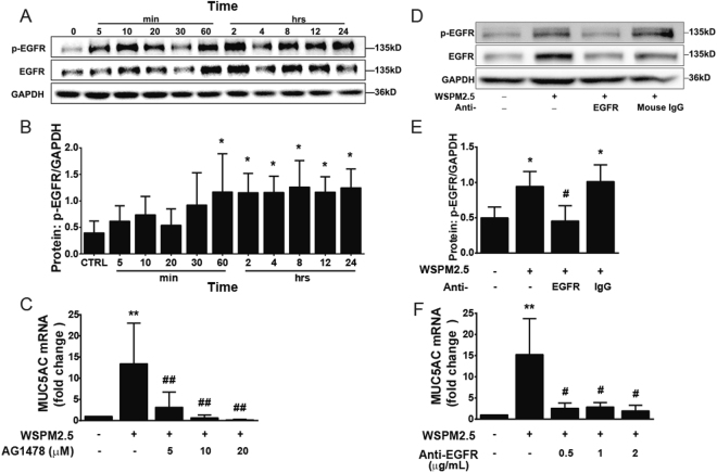 Ligand-dependent EGFR activation mediates MUC5AC induction by WSPM2.5. ( A ) NCI-H292 cells were stimulated with WSPM2.5 (8 μg/ml) for the indicated times. Cell lysates were prepared for Western blot analysis. Antibodies specific for EGFR, phosphorylated EGFR (p-EGFR) and GAPDH were used. ( B ) Density quantification of EGFR phosphorylation in ( A ). ( C ) NCI-H292 cells were pretreated with or without AG1478 (5, 10, or 20 μM) for 1 h and were then treated with WSPM2.5 for 24 h to measure MUC5AC mRNA expression. ( D ) NCI-H292 cells were pretreated with or without an EGFR-neutralizing antibody or a mouse control IgG antibody (0.5 μg/ml) for 1 h and were then stimulated with WSPM2.5 (8 μg/ml) for 60 min. Cell lysates were collected to examine EGFR phosphorylation. ( E ) Density quantification of EGFR phosphorylation in ( D ). ( F ) NCI-H292 cells were pretreated with or without different concentrations of EGFR-neutralizing antibody (0.5, 1, or 2 μg/ml) for 1 h before treatment with WSPM2.5 (8 μg/ml) for 24 h to analyze the MUC5AC mRNA expression levels. ( A and D ) one representative gel is shown. Densitometry analysis of p-EGFR was performed after normalization to GAPDH. The data are expressed as the means ± SD. n = 5 ( A,B and C ) or n = 4 ( D , E and F ). * P