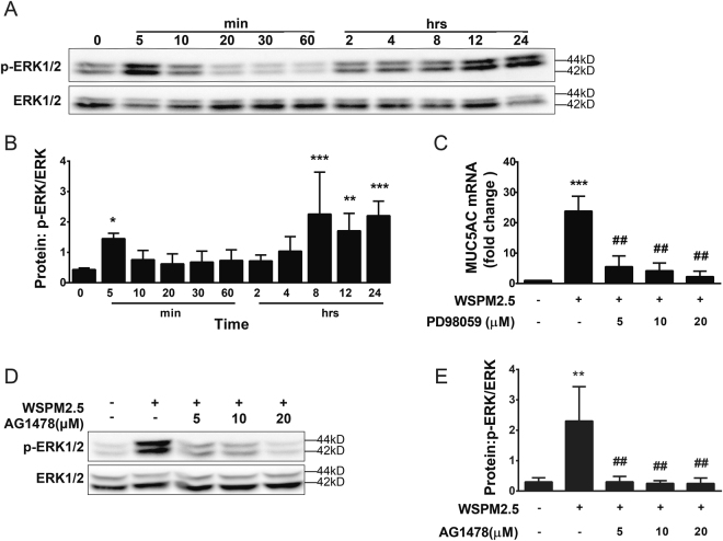 WSPM2.5-induced MUC5AC expression is mediated through the EGFR-dependent ERK pathway. ( A ) NCI-H292 cells were stimulated with WSPM2.5 for the indicated durations. Cell lysates were collected and assayed for ERK phosphorylation. The membranes were stripped and re-probed with an anti-ERK antibody. ( B ) Density quantification of ERK phosphorylation in ( A ). ( C ) NCI-H292 cells were pretreated with or without PD98059 (5, 10, or 20 µM) for 1 h and were then treated with WSPM2.5 for 24 h. MUC5AC mRNA expression was determined by real-time PCR. ( D ) NCI-H292 cells were pretreated with or without AG1478 (5, 10, or 20 μM) for 1 h and were then stimulated with WSPM2.5 for 5 min to assay for ERK phosphorylation. ( E ) Density quantification of ERK phosphorylation in ( D ). ( A and D ) one representative gel from three independent experiments is shown. The data are expressed as the means ± SD (n = 3). * P
