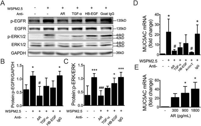AR is the primary ligand responsible for the activation of EGFR-ERK signaling and MUC5AC expression. Cells were pretreated with neutralizing antibodies against AR, TGF-α or HB-EGF for 1 h and were then stimulated with WSPM2.5 for 60 or 5 min to assay for phosphorylation of EGFR and ERK, respectively ( A ), or for 24 h to measure MUC5AC mRNA expression ( D ). ( B ) Density quantification of EGFR phosphorylation, and ( C ) density quantification of ERK phosphorylation in ( A ). ( E ) NCI-H292 cells were exposed to recombinant AR (300–1,800 pg/ml) for 24 h to assess MUC5AC mRNA expression. ( A ) one representative gel from three independent experiments is shown. Densitometry analysis of p-EGFR and p-ERK after normalization to GAPDH or total ERK, respectively. The data are expressed as the means ± SD; n = 3. * P