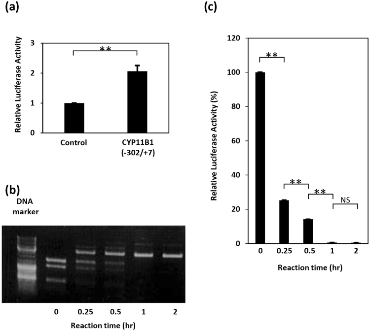 DNA methylation suppresses CYP11B1 promoter activity. ( a ) Confirmation of CYP11B1 promoter activity. H295R cells were transiently transfected with pGL4.10[luc2] (control) or pGL4-cyp11b1[−302/+7](CYP11B1(−302/+7)). Two days after transfection, cells were lysed and luciferase activity was measured. The luciferase activity of the control sample was set to 1.0, and data are shown as the mean ± SEM (n = 6), and analyzed with the Mann-Whitney U test. ** P