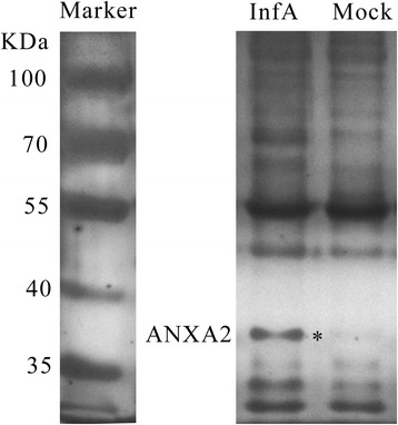 ANXA2 was confirmed as a novel host protein that binds to NS1. NS1-associated proteins from infected (InfA) or uninfected (Mock) A549 cell lysates were immunoprecipitated using the anti-NS1 D7 antibody, separated by SDS-PAGE (8%), and visualized by silver staining. The InfA group-specific band (indicated by an asterisk) was identified as ANXA2 by LTQ-MS