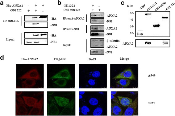 Validation of the interaction between ANXA2 and NS1. a Co-IP assay confirming the interaction between NS1 and ANXA2. A549 cells were transfected with HA-ANXA2 plasmid and infected with GD1322 24 h later. Cell lysates, harvested 36–48 h after infection, were subjected to IP and western blotting with anti-HA or anti-NS1 D7 antibodies. b Co-IP assay detecting the association between NS1 and endogenous ANXA2. A549 cells were infected with GD1322 and collected after 12 h. Next, cell lysates from infected or uninfected A549 cells were immunoprecipitated with an anti-ANXA2 rabbit antibody or the anti-NS1 D7 mouse antibody. After incubation with protein A/G-agarose beads, the Immunoprecipitation pellets were immunoblotted with the anti-NS1 D7 mouse antibody or the anti-ANXA2 rabbit antibody. c Pull down assay to verify that the ED of NS1 binds with ANXA2. Full-length NS1 and each functional domain were fused with GST and then incubated with uninfected A549 lysate. GST and ANXA2 were detected by western blotting. d Colocalization of ANXA2 and NS1 in A549 cells. HA-ANXA2 and FLAG-NS1 plasmids were co-transfected into A549 or 293 T cells. After incubation for 24 h, the cells were double-immunostained for FLAG-NS1 (green) and HA-ANXA2 (red). Nuclei were counterstained with 4′,6-diamidino-2-phenylindole (DAPI) (blue)