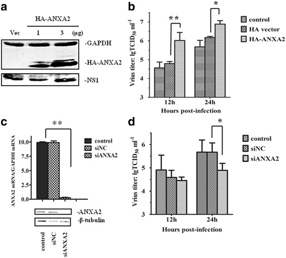 ANXA2 influences AIV replication in A549 cells. a Overexpression of ANXA2 in A549 cells. A549 cells were transfected with HA-ANXA2 plasmid or an empty vector (Vec) and then infected with GD1322 (MOI = 0.1). After 24 h, HA-ANXA2 and NS1 proteins were detected by western blotting. b Progeny virus titers increased significantly in A549 cells overexpressing ANXA2. Viral supernatants were collected at 12 h and 24 h after infection. Viral titers were assayed based on hemagglutination, and the results are expressed as TCID 50 per mL. c Knockdown efficiency of ANXA2. A549 cells were transfected with siNC or siANXA2. The results shown are from qPCR and western blotting analyses performed 24 h after infection. d Progeny virus titers decreased significantly after transfection with siANXA2 at 24 hpi. The results are presented as the mean and SD from three independent experiments. *, p