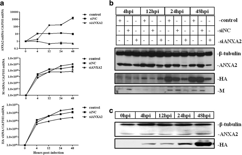 ANXA2 influences the replication of H5 subtype AIV. A549 cells were infected with GD1322 (MOI = 0.1) after transfection with siNC or siANXA2 for 24 h. The cells were then collected at 4, 12, 24 and 48 hpi to extract RNA or protein ( a , b ). A549 cells were also collected at 0, 4, 12, 24, and 48 hpi to extract protein ( c ). a qRT-PCR detection of gene synthesis of viral genes after transfection with siRNA. Total RNA was extracted from A549 cells, and ANXA2 mRNA, M vRNA and HA vRNA were used for relative quantification. GAPDH was used as a control. b Western blotting detection of viral protein expression after transfection of siRNA. After extracting total proteins from A549 cells, viral protein expression was determined using H5-specific antiserum from our lab. ANXA2 and tubulin were detected using commercial MAbs. The results are presented as the mean and SD from three independent experiments. c Western blotting detection of ANXA2 and HA expression after infection with H5N1 AIV. The same antibodies described above were used