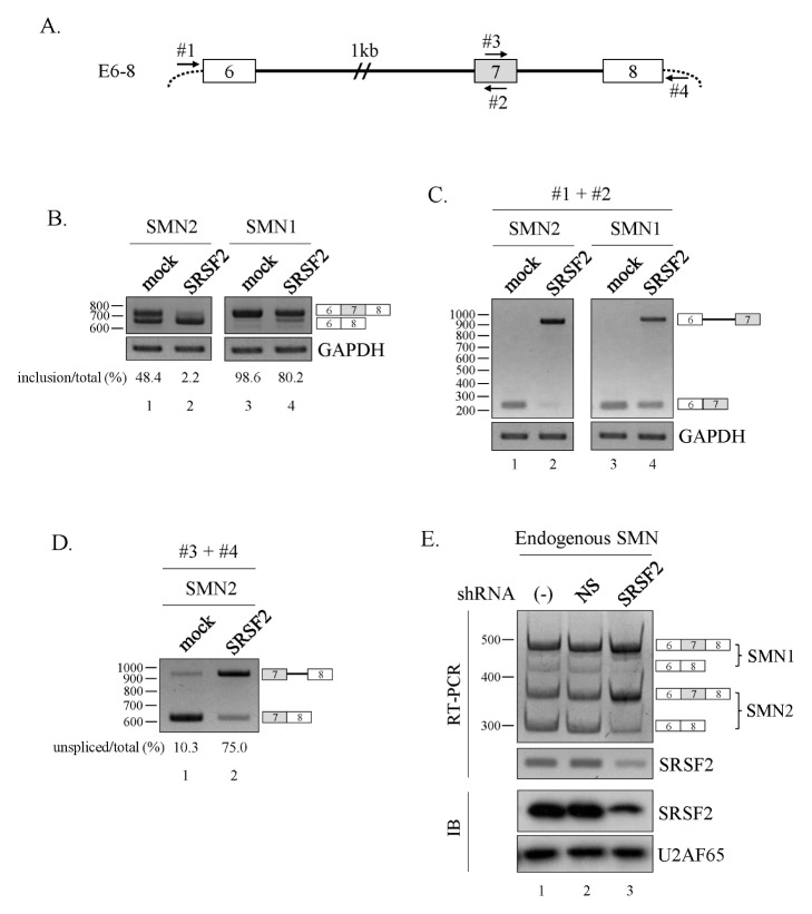 SRSF2 promotes exon exclusion. (A) Schematic diagram of the E6–8 minigene. Exons are depicted as numbered boxes, introns as solid lines. (B) RT-PCR analysis of the E6–8 minigene from the SMN1/2 locus in SRSF2-expressing cells. (C) RT-PCR analysis of intron6 splicing within the E6–8 minigene using primers #1 and #2. (D) RT-PCR analysis of intron7 splicing within the E6–8 minigene using primers #3 and #4. (E) RT-PCR analysis to detect alternative splicing of endogenous SMN1 and SMN2 using RNA extracted from cells infected with lentiviruses with SRSF2-targeting shRNA (SRSF2) or non-silencing shRNAs (NS).