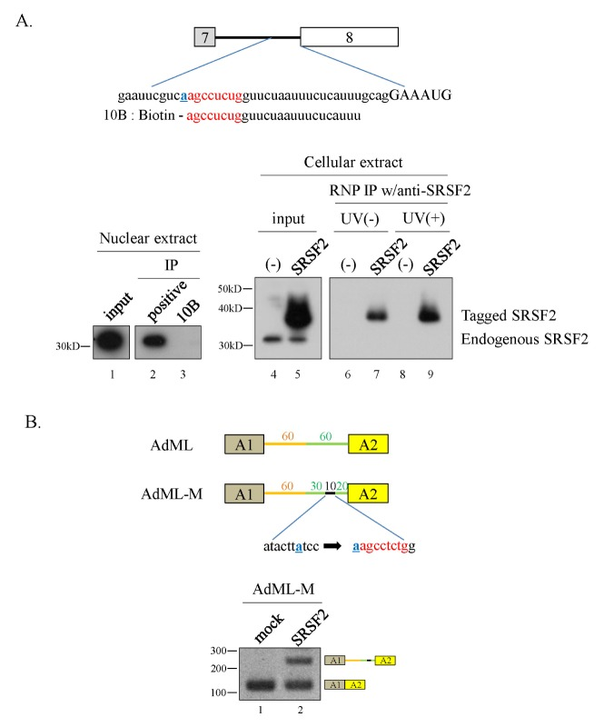 A 10 nt RNA sequence physically interacts with SRSF2 and inhibits constitutive splicing. (A) (Upper panel) The 10 nt regulatory sequence with surrounding sequences and biotin-labeled RNA sequence (10B) are shown. (Lower panel) RNA-pulldown and immunoprecipitation analyses with SRSF2-specific antibody are shown. (B) (Upper panel) Schematic diagram of the AdML-M minigene. (Lower panel) RT-PCR analysis of intron splicing in the AdML-M minigene.