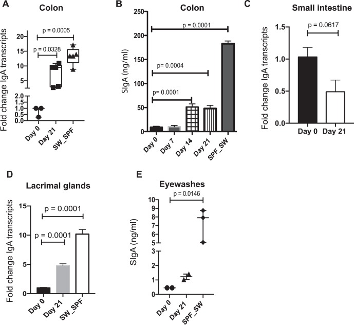 <t>IgA</t> increases at multiple mucosal sites after recolonization of GF SW mice with Bacteroides acidifaciens. GF SW mice (n = 5–7) were orally gavaged with (1 × 10 8 CFU/mL) B. acidifaciens and kept in GF housing for 21 days. (A) Significance of changes in the colon IgA gene transcripts over time was determined by 1-way ANOVA followed by Dunn's comparison test. (B) Stool samples were assayed for SIgA by <t>ELISA.</t> Significance of changes in gut SIgA over time was determined by 1-way ANOVA followed by Dunnett's comparison test. (C) Changes in IgA transcript levels in the small-intestine samples. Significance was determined by Student's t-test. (D) Significance of changes in LG IgA transcripts over time was determined by 1-way ANOVA followed by Dunnett's comparison test. (E) Pooled eyewash samples were collected from mice and analyzed for IgA by ELISA. Significance of changes in eyewash SIgA over time was determined by 1-way ANOVA followed by Dunn's comparison test. Cumulatively, the data show that gut reconstitution of GF SW mice with B. acidifaciens induced a robust gut and ocular IgA transcription.