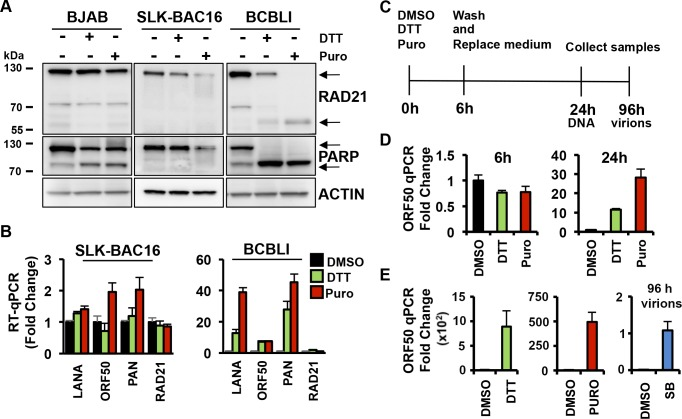 ER stress induces KSHV lytic replication in BCBL1 cells. (A) Immunoblotting of RAD21, PARP and actin in <t>BJAB,</t> <t>SLK-BAC16</t> and BCBL1 cells exposed to 5mM DTT or 75ug/ml Puromycin (Puro) for 6 hours. (B) RT-qPCR for latent transcript LANA, lytic transcripts ORF50 and PAN, and RAD21 transcript relative to cellular actin in SLK-BAC16 and BCBL1 cells treated with DMSO, 5mM DTT or 75ug/ml Puromycin (Puro) for 6 hours. The data are expressed as fold change of the treated versus untreated (DMSO) cells. (C) Schematic representation of drug treatments in BCBL1 cells. Cells were treated with a 6-hour pulse of DMSO or 5mM DTT or 75ug/ml Puromycin (Puro) and then cultured in fresh media lacking drugs for the remaining 24 hours or 96 hours. (D) At 6 and 24 hours after drug treatment as described in (C), the level of viral DNA was evaluated by real-time qPCR for ORF50 DNA relative to cellular actin. The data are expressed as fold change of the treated versus untreated (DMSO) cells. (E) Virion DNA was isolated from cell supernatants at 96 h post-treatment and wash-out and assayed by qPCR for ORF50 DNA. Sodium butyrate (SB) treated cell supernatant was used as positive control. The data are expressed as fold change of the treated versus untreated (DMSO) cells.