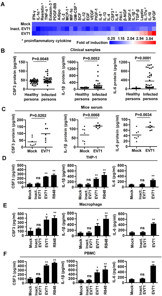 EV71 infection induces the productions of inflammatory cytokines in vivo and in vitro . ( A ) THP-1 derived macrophages were infected with EV71 (MOI = 5) or UV-inactivated EV71 for 12 h. The amount of 30 cytokines in cell supernatants was measured by Human Cytokine ELISA. Each cytokines concentrations in cell supernatants were reproducible and detectable. Data are shown as fold changes of protein expression compared to mock samples. Proinflammatory cytokines are marked by an asterisk. ( B and C ) CSF3, IL-1β, and IL-6 proteins in sera of EV71-infected patients (n = 40) and healthy individuals (n = 36) ( B ), or in sera of EV71-infected and mock-infected mice (each group, n = 7) ( C ) were measured by ELISA. ( D – F ) THP-1 cells ( D ), macrophages (differentiated from THP-1 cells) ( E ), and PBMCs (isolated from peripheral blood samples of healthy individuals) ( F ) were treated with 100 ng/ml R848 for 12 h or infected with UV-inactivated EV71 (Inact. EV71) or EV71 (MOI = 2) for 24 h. The supernatants of treated cells were collected and CSF3, IL-1β, and IL-6 levels were measured by ELISA. Data are shown as mean ± SD and correspond to a representative experiment out of three performed. ns, non-significant; *, P