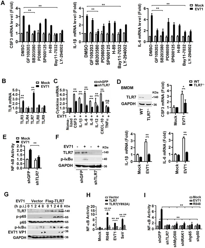 EV71 induces the production of proinflammatory cytokines via stimulating TLR7 signaling and NF-κB activity. ( A ) The monocytic THP-1 cells were treated with individual kinase inhibitors for 6 h, as indicated, and infected with EV71 (MOI = 5) for 12 h. The levels of CSF3 , IL-1β and IL-6 mRNAs were measured by qPCR. ( B ) THP-1 cells were infected with EV71 (MOI = 5) for 12 h and total mRNA extracts were prepared. The mRNA levels of TLRs expressed in the cells were determined by qPCR. ( C ) THP-1 cells were transfected with plasmid transcribing siRNA specific to TLR7 (shTLR7) or its control (shGFP) and then infected with EV71 (MOI = 5) for 12 h. Cytokine mRNA levels were determined by qPCR. (D ) Mouse bone marrow-derived macrophages (BMDMs) isolated from TLR7 wild-type (WT) or TLR7 knock-out (TLR7 -/- ) mice were infected with EV71 (MOI = 5) for 24 h. TLR7 protein was determined by Western blotting. Mouse CSF3 , IL-1β , and IL-6 mRNAs were measured by qPCR. ( E and F ) THP-1 cells were co-transfected with NF-κB reporter plasmid and siRNA specific to TLR7 (shTLR7) or negative control (shGFP) and then infected with EV71 (MOI = 5) for 8 h. NF-κB activity was determined by luciferase activity assay ( E ). The endogenous protein levels were determined by western blotting with indicated antibodies ( F ). ( G ) HEK293T cells were transfected with pFlag2B (vector) or pFlag-TLR7 and infected with EV71 (MOI = 5). TLR7, p65, P-p65, EV71 VP1, and GAPDH proteins expressed in the treated cells were detected by Western blotting. ( H and I ) HEK293T cells were co-transfected with NF-κB reporter and pTLR7, pTLR7 (Y892A) or vector ( H ), or plasmids carrying shRNAs specific to indicated genes ( I ), and then stimulated with R848, or infected with EV71 (MOI = 5) or SeV (HA unit = 5) for 8 h, respectively. NF-κB activities were determined by luciferase activity assay. All qPCR assays used GAPDH mRNA as an internal control. Results were expressed as fold induction relative to control. ns, non-significant; *, P
