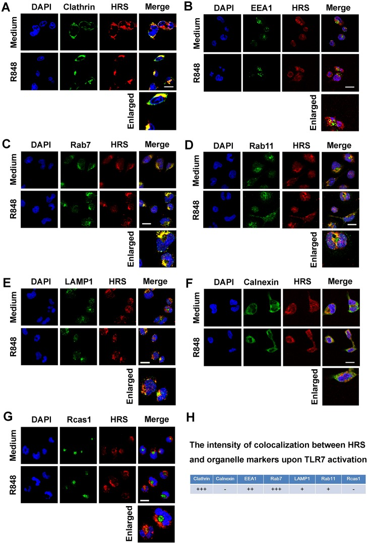 The sub-cellular localization of HRS during TLR7 signaling activation. (A–G) Macrophages were stimulated without or with R848 for 15 min, and then probed with HRS or organelles markers antibodies against clathrin ( A ), EEA1 ( B ), Rab7 ( C ), Rab11 ( D ), LAMP1 ( E ), Calnexin ( F ) or Rcas1 ( G ) before confocal microscopy, Bar = 20 μm. (H) The intensity of colocalization was calculated by using Image J software analysis. +++, > 80% colocalization; ++, 60%~80% colocalization; +, 40%~60% colocalization; -,