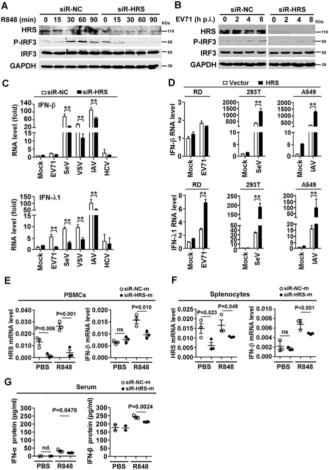 HRS promotes the production of interferons mediated by TLR7 signaling. ( A and B ) Macrophages were transfected with siR-HRS or siR-NC and then stimulated with R848 ( A ) or infected with EV71 ( B ) for various time periods as indicated. The proteins in the cell lysates were detected using Western blotting analyses with indicated antibodies. ( C ) Macrophages were transfected with siR-HRS or siR-NC and then stimulated with R848. IFN-β and IFN-λ1 mRNA levels were determined using qPCR. ( D ) RD, 293T, and A549 cells were transfected with pcDNA3.1(-)-Myc or pcDNA3.1(-)-HRS-Myc and infected with EV71, SeV or IAV for 12 h, IFN-β and IFN-λ1 mRNA levels were determined using qPCR. **, P