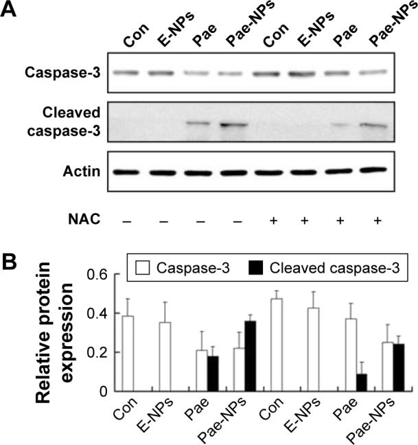 Effect of free Pae or Pae-NPs on the expression of caspase-3 and cleaved caspase-3 proteins in A549 cells. Notes: ( A ) Blots of caspase-3 and pro-caspase-3 from cells treated with different agents. ( B ) Semi-quantification of protein expression. Data are represented as mean ± SD. Abbreviations: Pae, paeonol; Pae-NPs, Pae-loaded nanoparticles; E-NPs, empty nanoparticles; SD, standard deviation; NAC, N-acetylcysteine; Con, control.