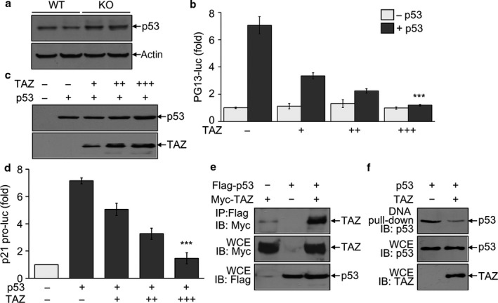 Suppression of p53 activity by TAZ via direct interaction. (a) Immunoblotting analysis of p53 in the testis of WT and KO mice (12 months old, n = 6/group). (b–d) 293T cells were transfected with the reporter gene either PG 13‐luc (b) or p21‐luc (d) and/or TAZ expression vector. Expression of p53 and TAZ was detected by immunoblotting analysis (c). The reporter activity was determined after normalization with β‐galactosidase activity and given as the fold induction compared to mock control. (e, f) 293T cells were transfected with Flag‐tagged p53 and Myc‐tagged TAZ expression vector. Whole cell extracts ( WCE ) were harvested and used for immunoprecipitation with anti‐Flag antibody, followed by Immunoblot analysis (e). Or cell extracts were incubated with biotinylated p21 promoter, followed by precipitation and immunoblotting (f). The data in panel b and d indicate the mean ± SD of three independent experiments. *** P