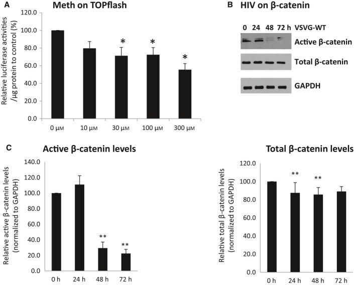 Meth and HIV infection decrease β‐catenin signaling. A) HFA s were transfected with TOP flash and treated daily with 300 μ m of meth. At 48 h post‐transfection, luciferase activities were measured. The value of arbitrary units per μg of cellular protein in the control was set at 100%. B‐C) HFA s were infected with VSVG ‐ HIV . Cell lysates were collected postinfection at 0, 24, 48, and 72 h. Western analysis was used for the detection of total β‐catenin and active β‐catenin, normalized to GAPDH . * denotes P