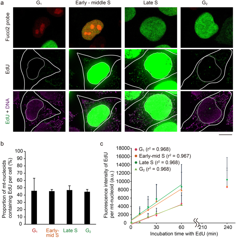 mtDNA replication occurs throughout the cell cycle, but the activity increases during the S phase. ( a ) Visualization of mtDNA replication in Fucci2 cells during the cell cycle. Fucci2 cells were incubated with 15 μM EdU for 60 min. After fixation, the color of the nucleus of Fucci2 cells was recorded, after which we performed signal amplification of EdU (green). We also performed immunostaining of DNA using anti-DNA antibodies (magenta), because signals of SYBR Green I in mt-nucleoids disappeared after fixation. Position of the nucleus (white dotted line) and cell shape (white line) are shown in each image. Scale bar, 10 μm. ( b ) Proportion of EdU-incorporating mt-nucleoids in a cell during the cell cycle. This proportion was calculated from the number of mt-nucleoids with EdU divided by the number of mt-nucleoids immunostained with anti-DNA antibodies in a cell. Error bars indicate standard deviation (G 1, n cells = 7; early-middle S, n cells = 9; late S, n cells = 7; G 2 , n cells = 7). ( c ) Fluorescence intensity of EdU signals in each mt-nucleoid during the cell cycle. The EdU intensity in each mt-nucleoid was analyzed using Fiji software. Approximately straight lines for 0–60 min of incubation are shown in the plot area, and the r 2 value of each line is indicated in parentheses. The slopes of each approximation line are 80.31, 126.18, 141.26, and 67.53 for G 1 , early-middle S, late S, and G 2 , respectively. Error bars indicate standard deviation (n mt-nucleoid = 200 from 10 cells for each plot).